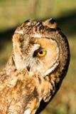 Portret van Eagle-bubo van uilbubo royalty-vrije stock foto