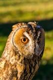 Portret van Eagle-bubo van uilbubo stock afbeelding