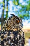 Portret van Eagle-bubo van uilbubo stock foto's