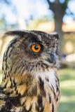 Portret van Eagle-bubo van uilbubo royalty-vrije stock foto's