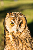 Portret van Eagle-bubo van uilbubo stock fotografie