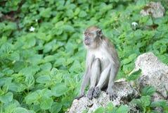 Portret van een aap Stock Foto