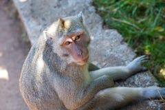 Portret van een aap Stock Afbeelding