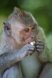 Portret van een aap Royalty-vrije Stock Afbeelding
