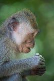 Portret van een aap Stock Fotografie