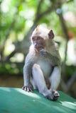 Portret van een aap Royalty-vrije Stock Foto's