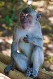 Portret van een aap Stock Afbeeldingen