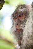 Portret van een aap Royalty-vrije Stock Afbeeldingen