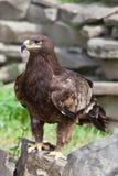 Portret van een adelaar Stock Foto