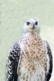 Portret van een adelaarssymbool de jacht Royalty-vrije Stock Fotografie