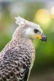 Portret van een adelaarssymbool de jacht Royalty-vrije Stock Foto