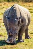 Portret van een Afrikaanse Rinoceros Royalty-vrije Stock Foto's