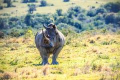 Portret van een Afrikaanse Rinoceros Royalty-vrije Stock Afbeelding