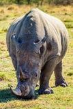 Portret van een Afrikaanse Rinoceros Royalty-vrije Stock Foto