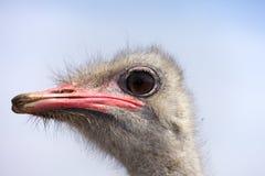 Portret van een Afrikaanse struisvogel Stock Afbeeldingen