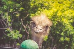 Portret van een Afrikaanse struisvogelclose-up op bosachtergrond Royalty-vrije Stock Foto