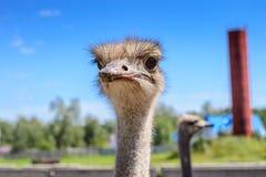 Portret van een Afrikaanse struisvogelclose-up op hemelachtergrond Royalty-vrije Stock Afbeeldingen