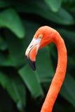 Portret van een Amerikaanse Flamingo Stock Foto's