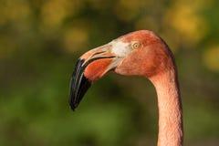 Portret van een Amerikaanse flamingo Phoenicopterus ruber in de aardhabitat royalty-vrije stock fotografie