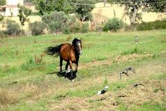 Portret van een anglo Arabisch bruin paard Stock Foto