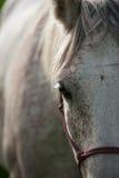 Portret van een Arabisch Paard Royalty-vrije Stock Afbeelding
