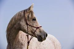 Portret van een Arabisch Paard Royalty-vrije Stock Afbeeldingen