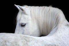 Portret van een Arabisch paard op zwarte achtergrond Royalty-vrije Stock Afbeelding