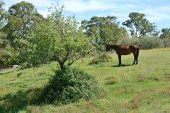 Portret van een Arabisch Sardisch paard van Anglo op een gebied Royalty-vrije Stock Foto's