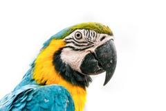 Portret van een arapapegaai Royalty-vrije Stock Foto's