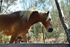 Portret van een avellinese paard Royalty-vrije Stock Foto