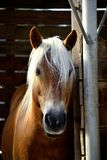 Portret van een avellinese paard met blondemanen royalty-vrije stock foto's