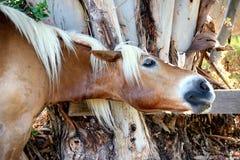 Portret van een avellinese paard met blondemanen Royalty-vrije Stock Foto