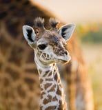 Portret van een babyGiraf kenia tanzania 5 maart 2009 Stock Afbeeldingen