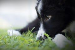 Portret van een border collie-puppy Royalty-vrije Stock Afbeelding