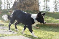 Portret van een border collie-puppy in de tuin Stock Fotografie