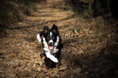 Portret van een border collie-puppy in het hout Royalty-vrije Stock Foto