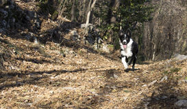 Portret van een border collie-puppy in het hout Stock Foto's
