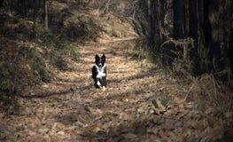 Portret van een border collie-puppy in het hout Stock Afbeelding