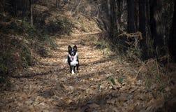 Portret van een border collie-puppy in het hout Stock Afbeeldingen