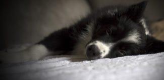 Portret van een border collie-puppyslaap op sofà Royalty-vrije Stock Afbeelding