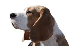 Portret van een brakhond royalty-vrije stock fotografie