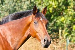 Portret van een bruin paard Stock Afbeelding