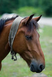 Portret van een bruin paard Royalty-vrije Stock Afbeeldingen