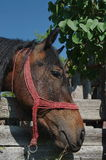 Portret van een bruin paard Royalty-vrije Stock Fotografie