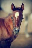 Portret van een bruin veulen Royalty-vrije Stock Foto's