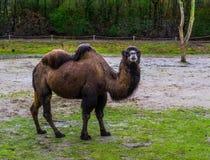 Portret van een bruine Bactrische kameel in een weiland, geacclimatiseerd dier van Azië royalty-vrije stock fotografie