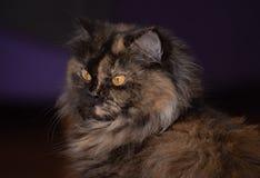 Portret van een bruine gestreepte kat binnenlandse longhair kat met achtergrond stock foto