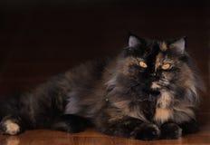Portret van een bruine gestreepte kat binnenlandse longhair kat met achtergrond royalty-vrije stock afbeelding