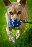 Portret van een Chihuahua stock fotografie