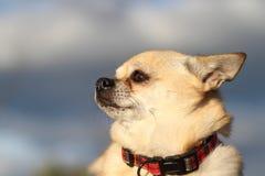 Portret van een Chihuahua bij zonsondergang. Stock Foto